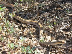 garden snake photograph 3 western patch nosed snake i