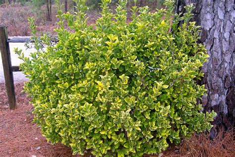 deciduous shrubs simpson landscape