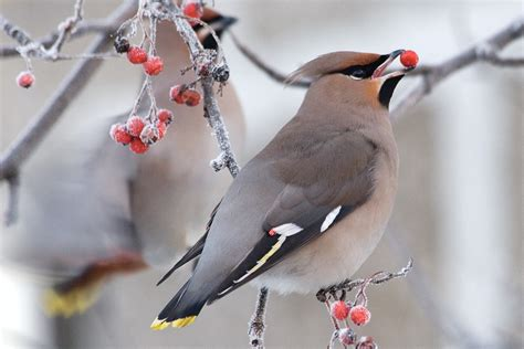 winter berries for birds the national wildlife
