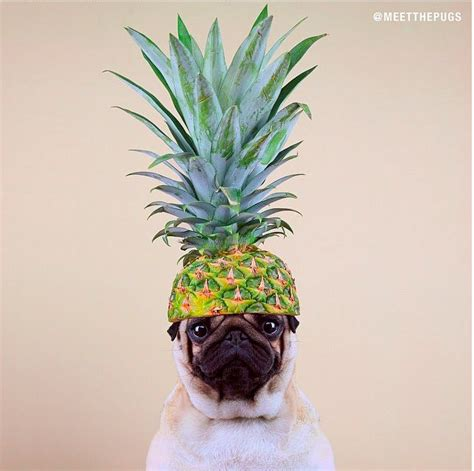pineapple for dogs pineapple pug loulou co pug