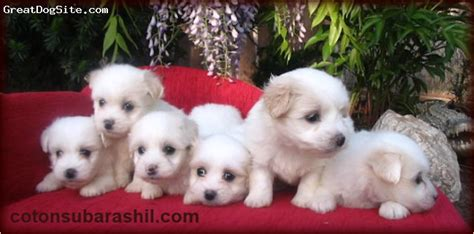 what age do yorkies change color a photo of a 3 months tri color coton de tulear coton de tulear