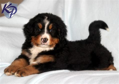 bernese mountain puppies for sale in pa bernese mountain puppies for sale in pa keystone puppies 950 00