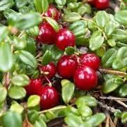 coltivare mirtilli in vaso coltivazione mirtilli frutteto come coltivare i mirtilli
