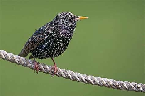 european starlings bird profile