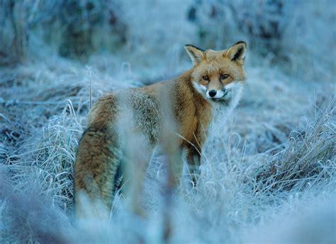 imagenes en movimiento de zorros zorros taringa