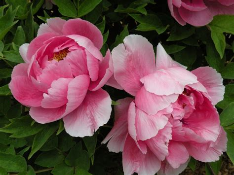 peony flower start growing your own diy front yard garden photo ideas bored fast food