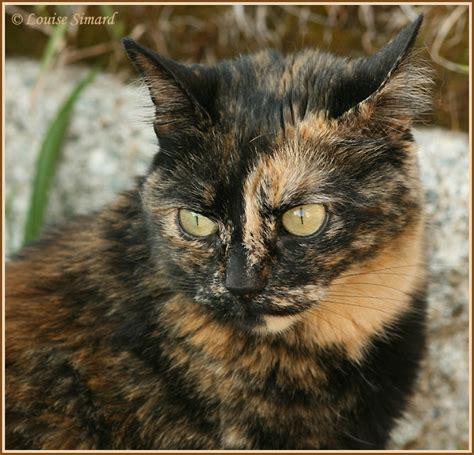 1000 images about tortoiseshell cat on pinterest tortoiseshell cat calico cats and kittens