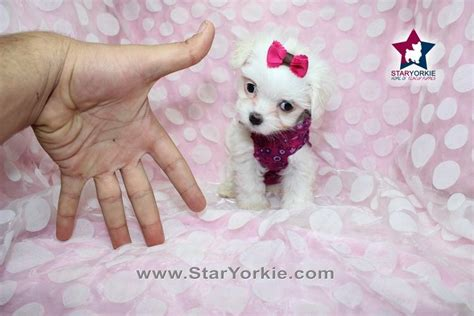 teacup puppies los angeles pictures for teacup puppies heaven in los angeles ca 90048