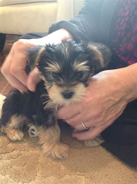 schnorkie puppies 10 best images about schnorkie snorkie on yorkie bugs and chester