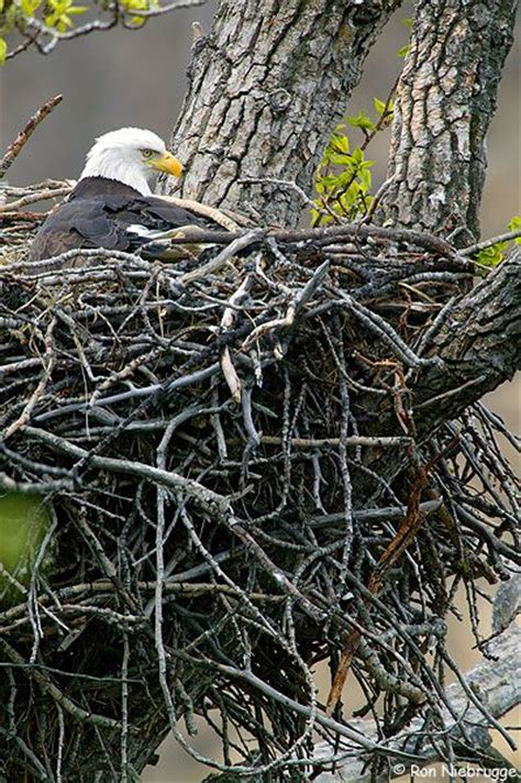 bald eagle incubation period and nests on pinterest