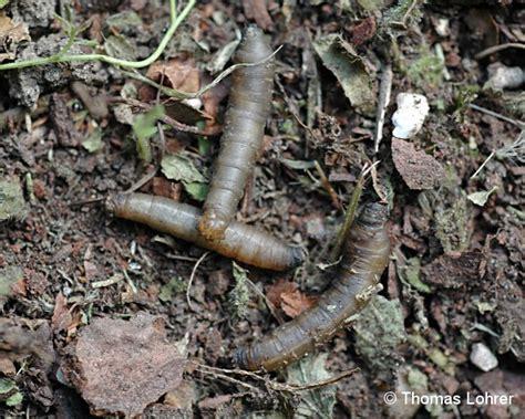 larven im garten schnaken auf arbofux diagnose datenbank f 252 r geh 246 lze