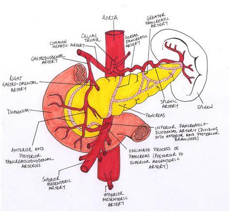 pancreatitis diagram pancreas diagram labeled www pixshark images