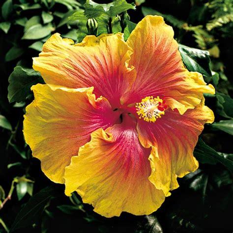 hibiscus  path hibiscus sinensis