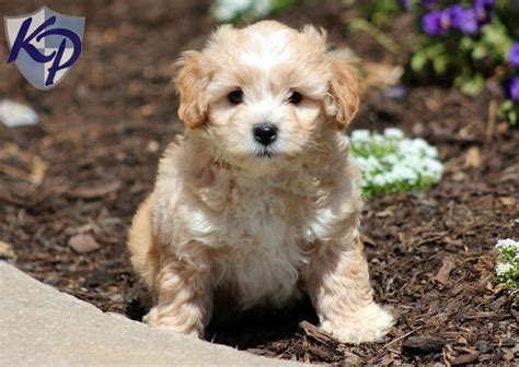 search zuchon on puppy haircuts rascal shichon puppy designerbreed keystonepuppies