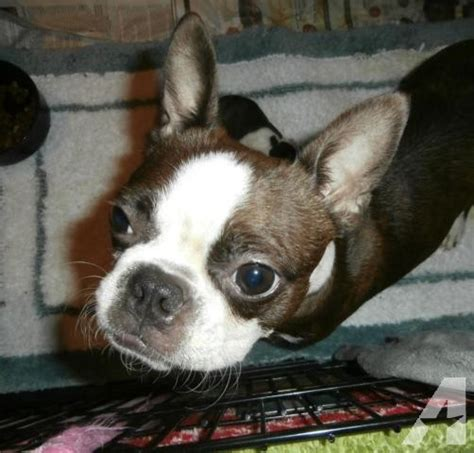 boston terrier puppies for sale in ny ckc boston terrier puppies for sale in belden new york classified