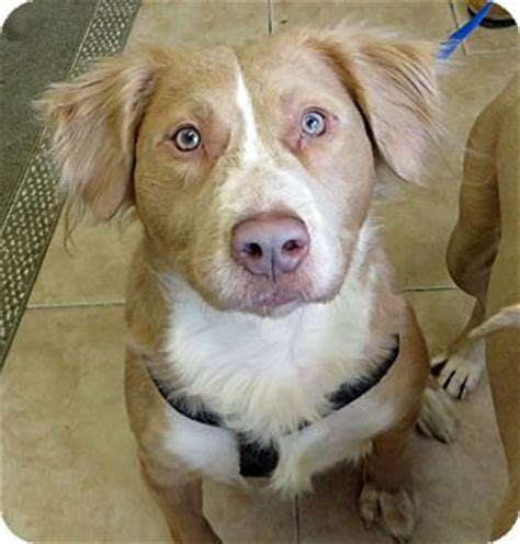 golden retriever mixed with pitbull cass adopted middletown ny golden retriever american pit bull terrier mix
