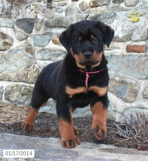 rottweiler for sale in arkansas the 25 best rottweiler pups for sale ideas on rottweiler for sale