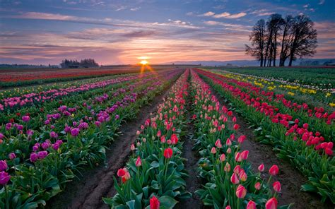 tulip field daily wallpaper tulip fields i like to waste my time