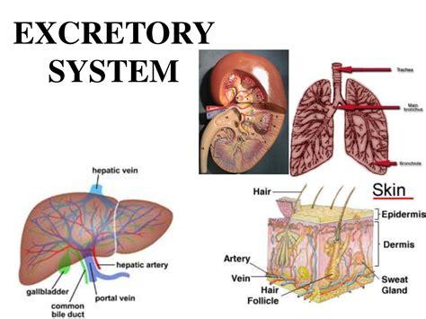 diagram of excretory system excretory system diagram pelautscom human system