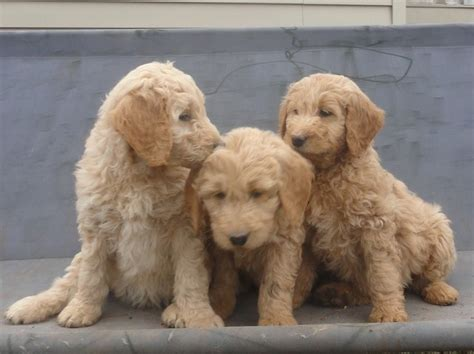 goldendoodle puppies for sale in tn goldendoodle puppies for sale in tennessee