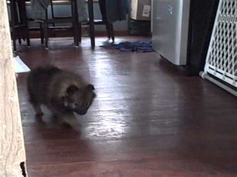 how to potty your pomeranian puppy how to potty a pomeranian puppy doovi
