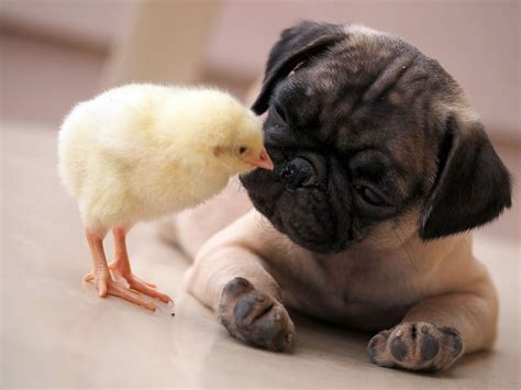 wa pug gives pug a peck on the nose picture animal kingdom s couples abc news