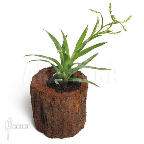 catopsis morreniana araflora exotic flora more bromeliad catopsis