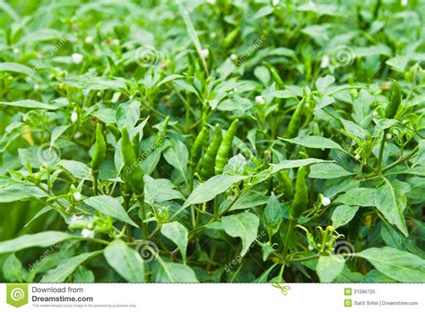 Chili Garden by Green Chili On Tree Stock Photo Image Of Nutritional 21096720