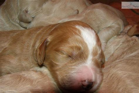labradoodle puppies michigan labradoodle puppy for sale near the thumb michigan 33441e3e 5671