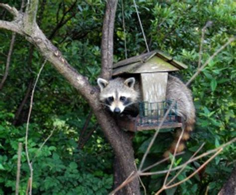 raccoons and birdfeeders the humane society of the