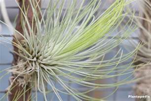 air plant tillandsia species how to care and water air