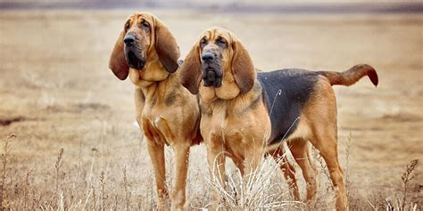 Bloodhound Shedding by Bloodhound Information Facts And Pictures