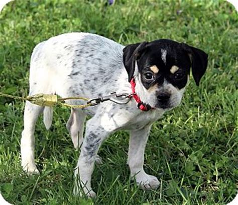 pugs for adoption rochester ny greenlee adopted puppy dg rochester ny pug blue heeler mix