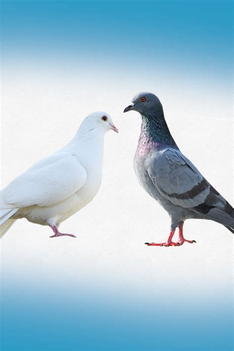 white pigeon vs dove