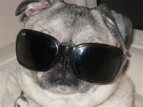 pug with sunglasses pin pugs in sunglasses on