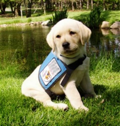 service dogs for epilepsy daily dose of knowledge seizure alert dogs johnston county animal protection