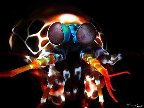 mantis shrimp colors mantis shrimps part 2 of colour or perhaps not