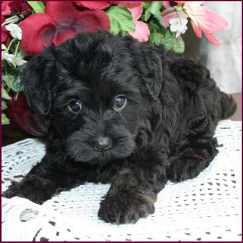black yorkie puppies for sale yorkipoo puppies for sale breeds picture