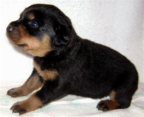 german rottweiler colors blue tri color pitbull puppies puppies puppy