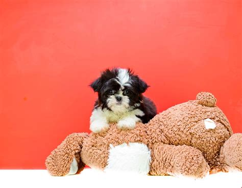 teddy puppies for adoption buy our teddy puppy mittens for adoption