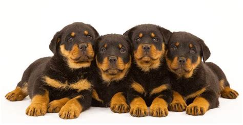 rottweiler puppy names and meanings unique rottweiler names for this special breed