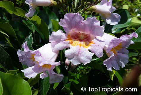 Fragrant Jasmine Plants - radermachera gigantea radermachera elmeri radermachera elmeri toptropicals com