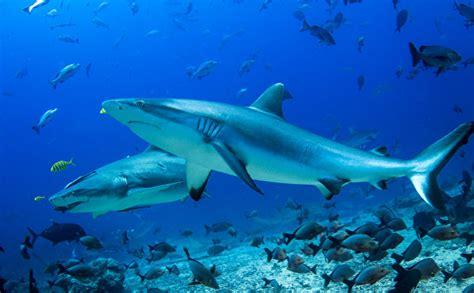 imagenes para fondo de pantalla de tiburones fondos de pantalla mundo submarino tiburones animalia