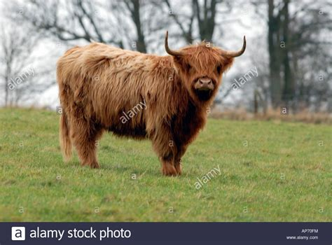 Aberdeen angus highland cattle in a field Stock Photo ...
