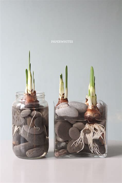Paperwhite Vase by 10 Inspiring Containers For Your Winter Bulbs Porch Advice