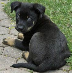 white german shepherd rottweiler mix rottweiler german shepherd mix