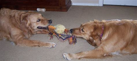 play with dogs file dogs jpg wikimedia commons