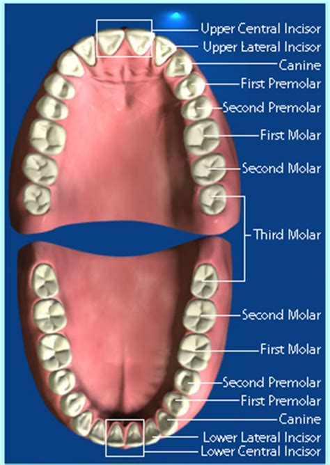 Tang Cabut Gigi Dewasa Premolar A 7 health care zone for grown ups knowing your teeth types of teeth