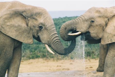 elephant biography in hindi indian elephant drinking water