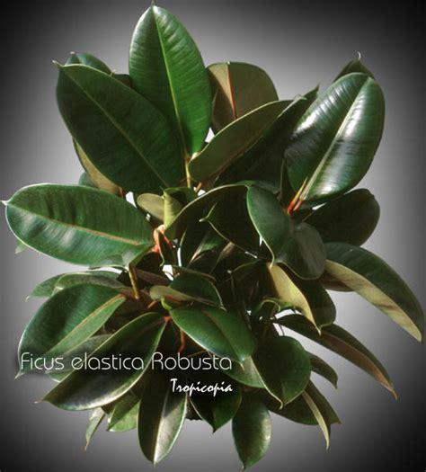 House Plant Tropicopia Online House Plant Picture Of Ficus Ficus